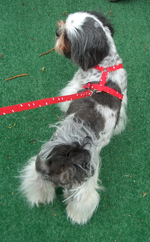 white dots on red harness and leash