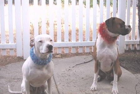 Clyde & Rocky wearing Canine Collar Cuffs