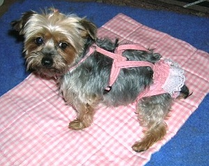 Pebbles with Michigan Yorkshire Terrier Rescue -  Peke  A Tzu Patron